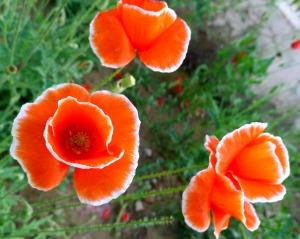 罂粟花   鸦片  花